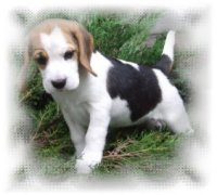 "Beagle Cloe,"" Ginger´s Bright Dynasty"" Kennel"